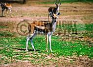 Gazelle 0004