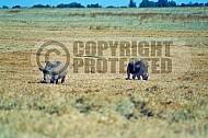 Rhinoceros 0004