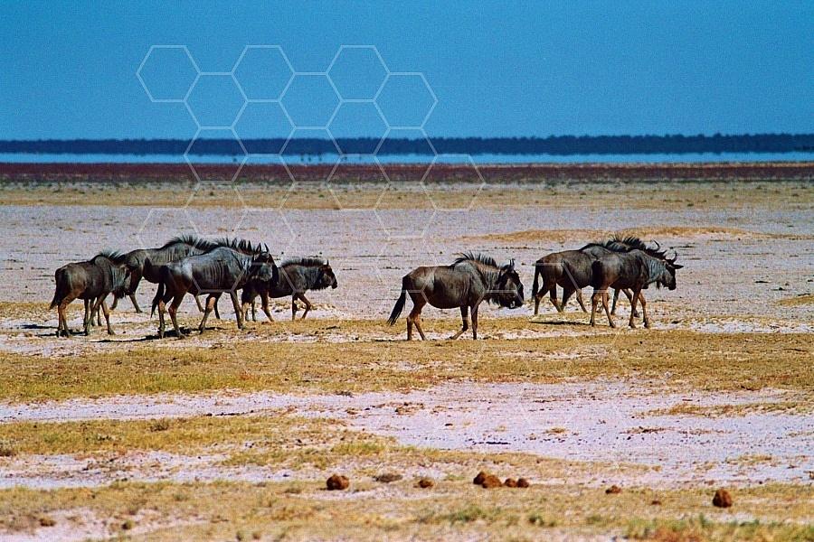 Wildebeest 0008