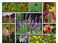 Israel Flowers 005