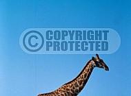 Giraffe 0037