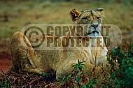 Lion 0028
