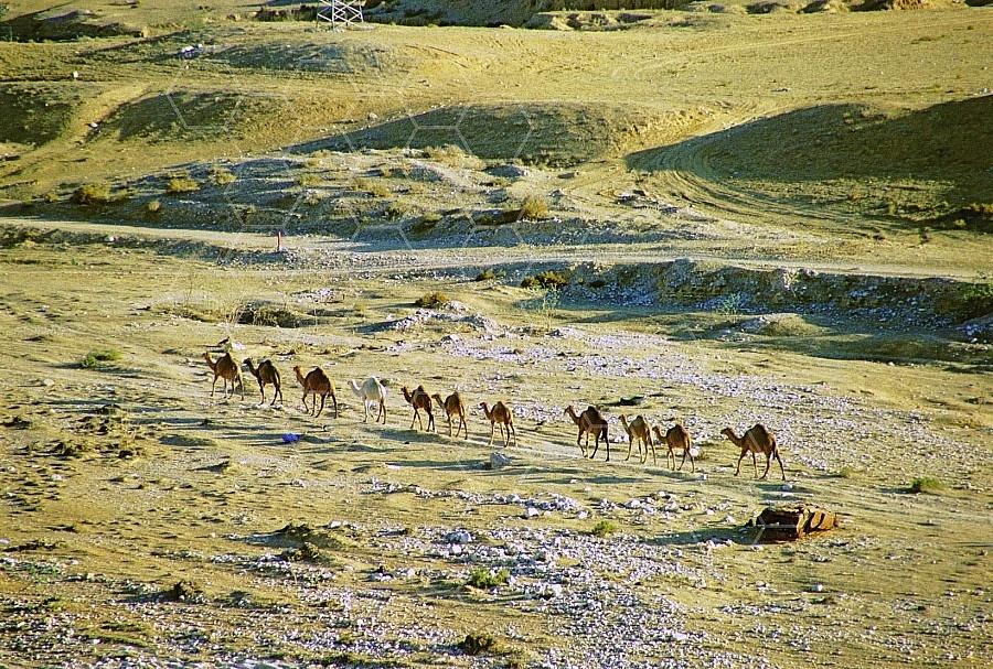 Camel 0012
