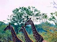 Giraffe 0031