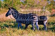 Zebra 0003
