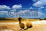 Camel 0006