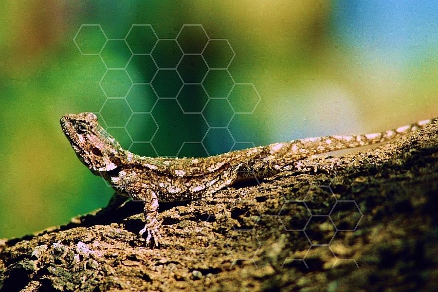 Lizard 0006