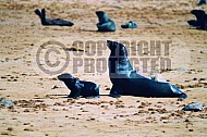 Seal Fish 0016