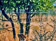 Cheetah 0023
