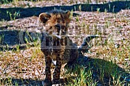 Cheetah 0007