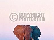 Elephant 0080