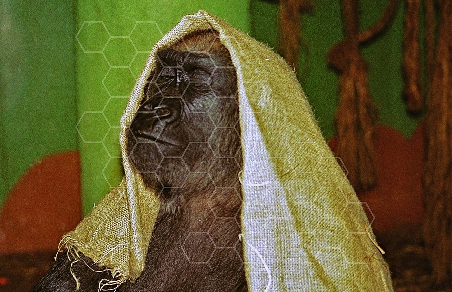 Gorilla 0008