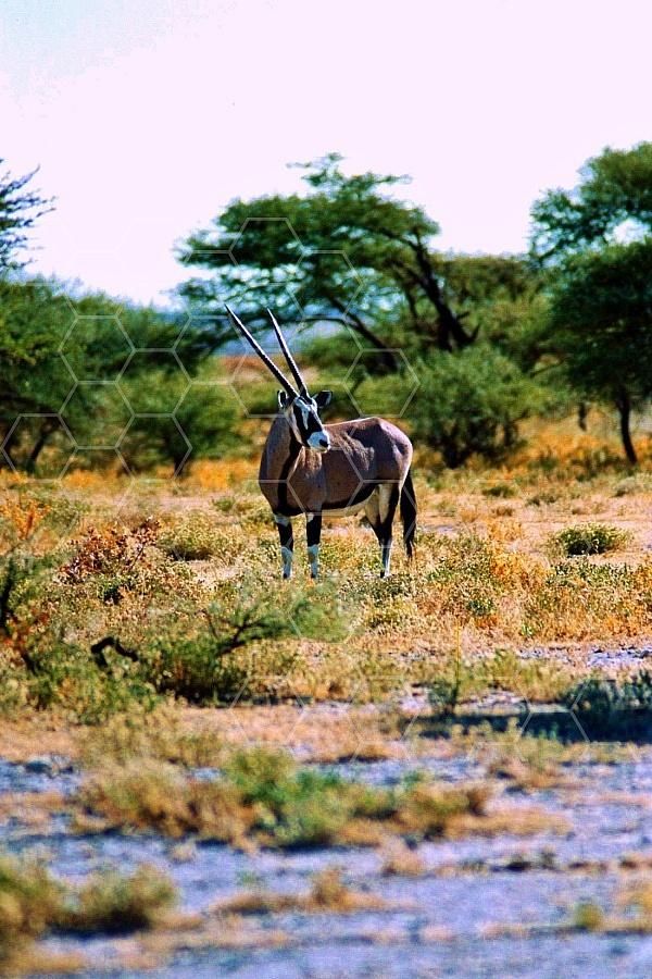 Oryx 0024