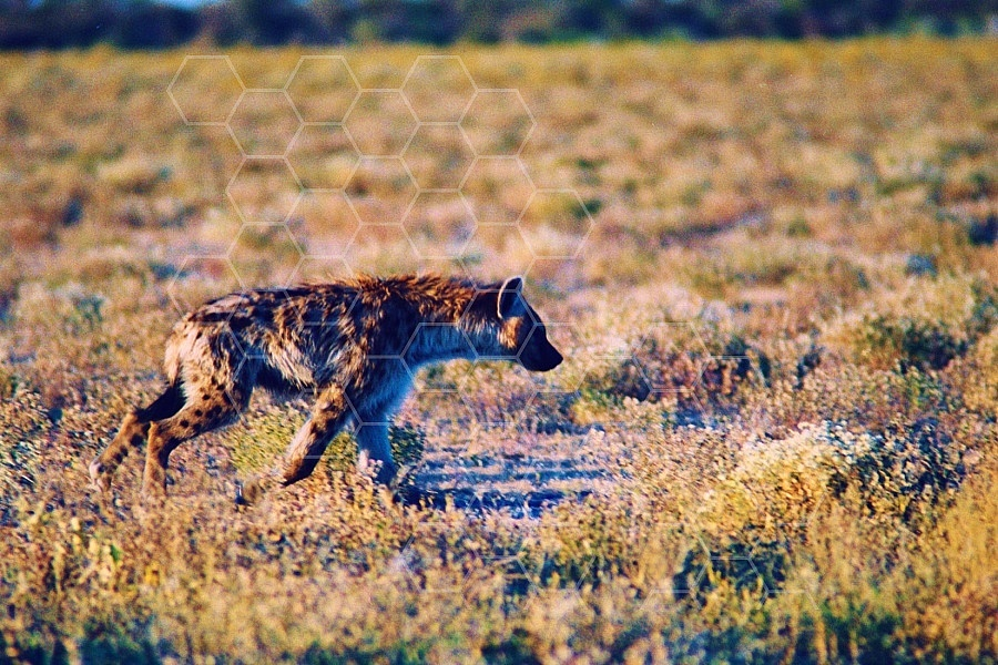 Spotted Hyena 0003