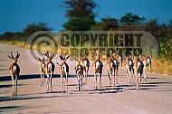 Springbok 0009