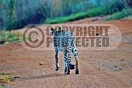 Cheetah 0009