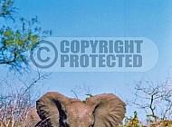 Elephant 0086