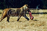 Lion 0026