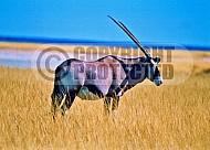 Oryx 0012