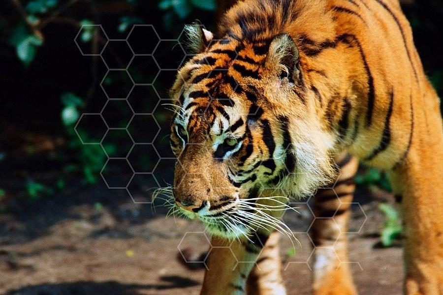 Tiger 0004