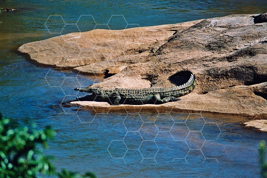 Crocodile 0001