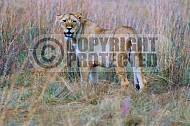 Lion 0044