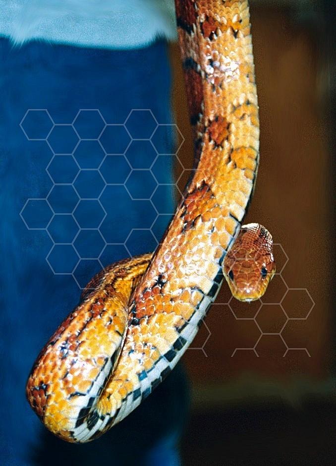 Viper Snake 0012