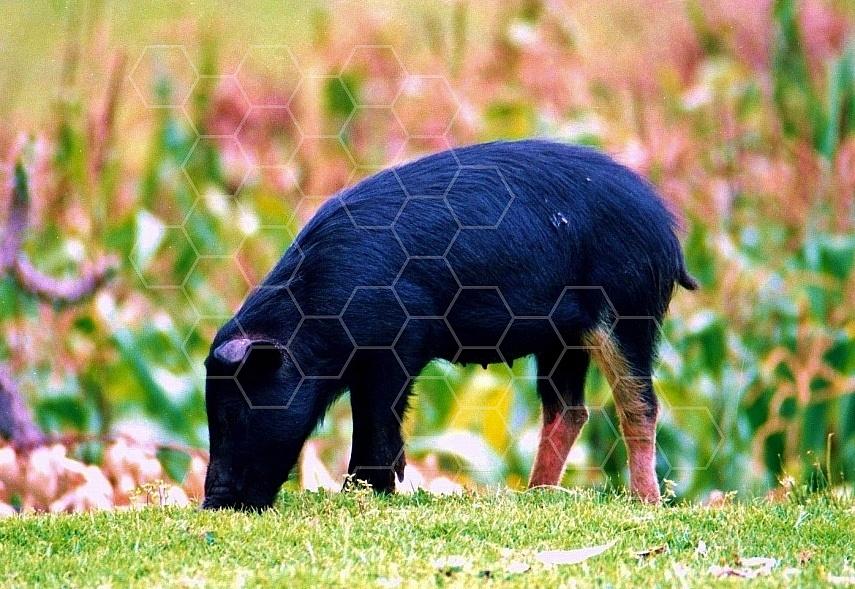 Pig 0001