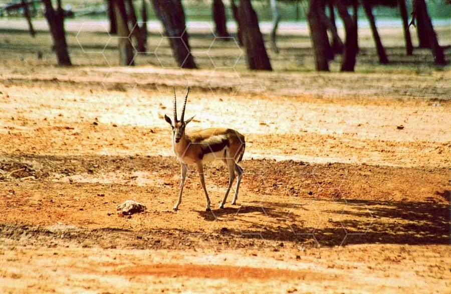 Gazelle 0001