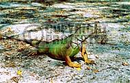 Iguana 0003