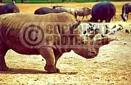 Rhinoceros 0012