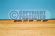 Wildebeest 0011