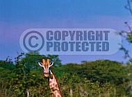 Giraffe 0019