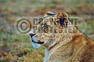 Lion 0013