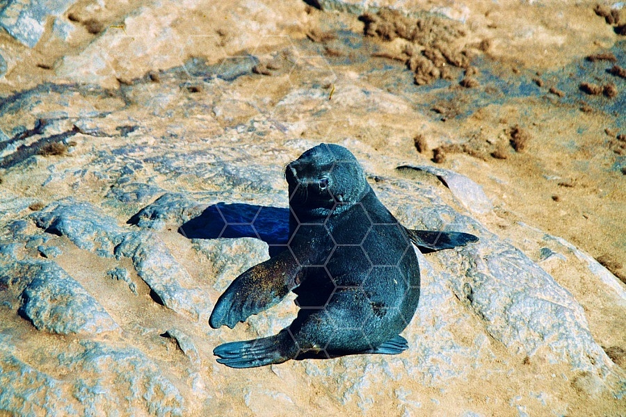 Seal Fish 0001