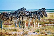 Zebra 0015