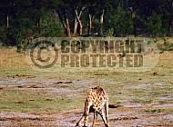 Giraffe 0018