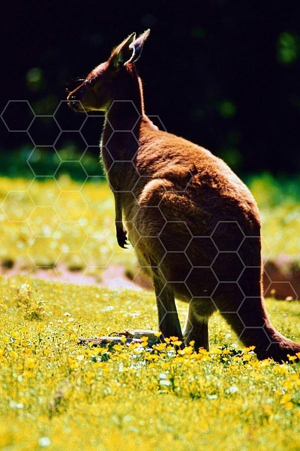 Kangoroo 0007