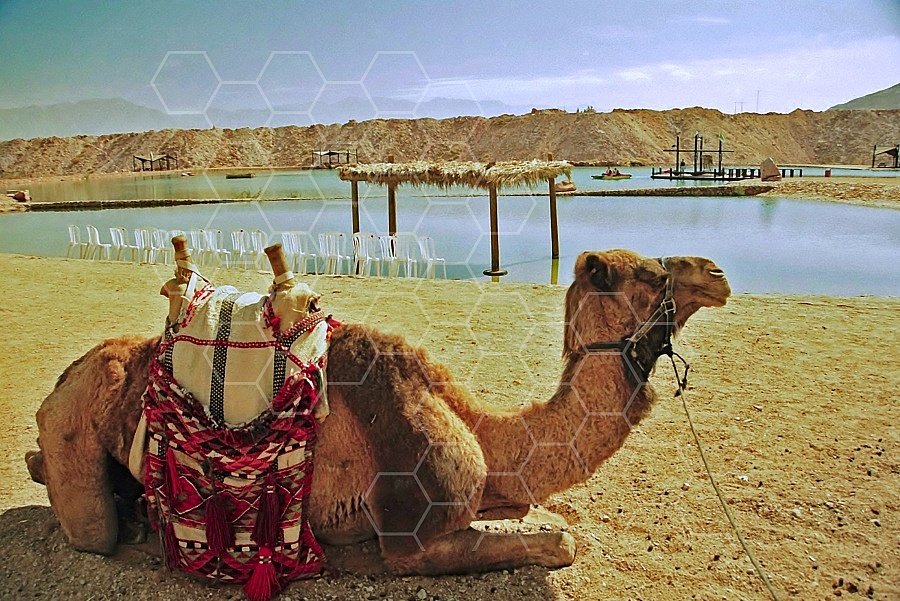 Camel 0009
