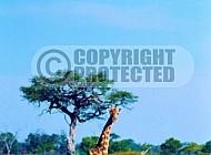 Giraffe 0024