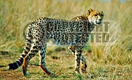 Cheetah 0002