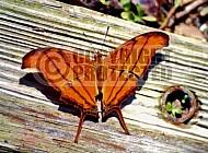 Butterfly 0050