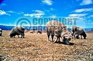 Sheep 0009