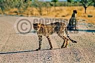 Cheetah 0021