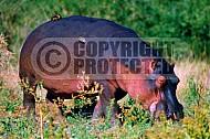 Hippopotamus 0003