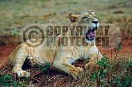 Lion 0036