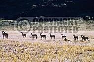 Springbok 0004