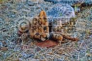 Cheetah 0011
