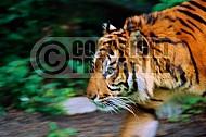 Tiger 0006