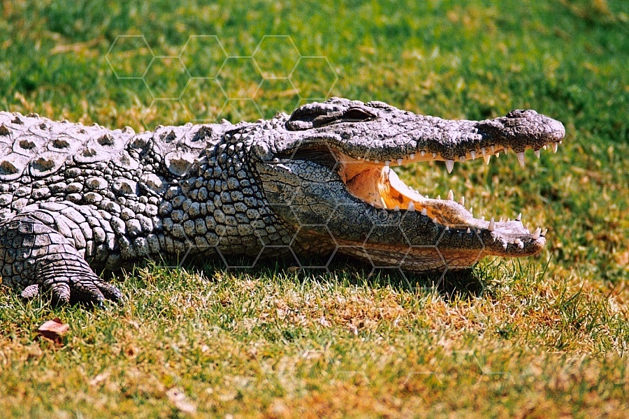 Crocodile 0002